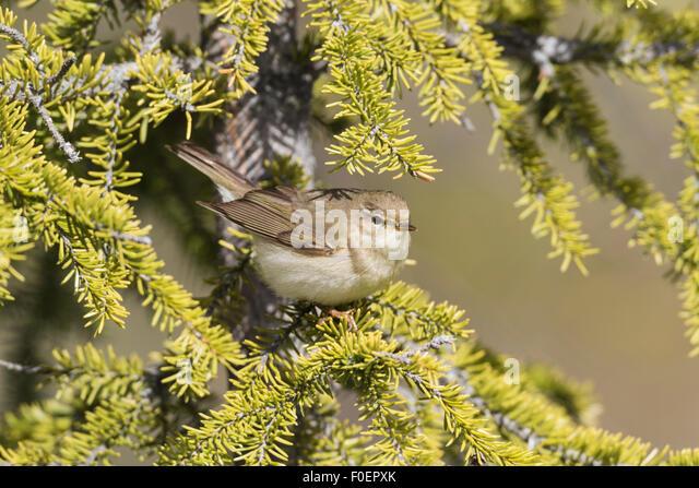 Willow warbler, Phylloscopus trochilus, sitting in a spruce, Gällivare, Swedish Lapland, Sweden - Stock-Bilder