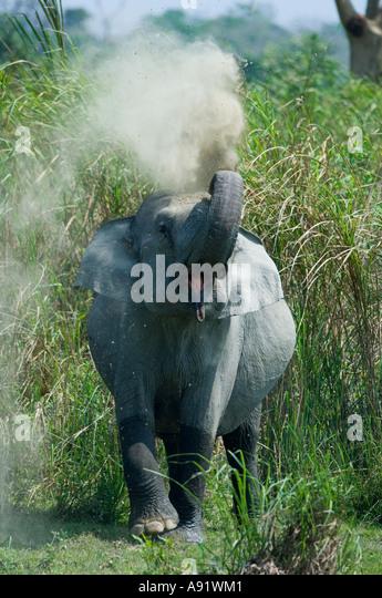 Asian Elephant taking dust bath (Elephas maximus) Kaziranga National Park Assam State INDIA - Stock Image