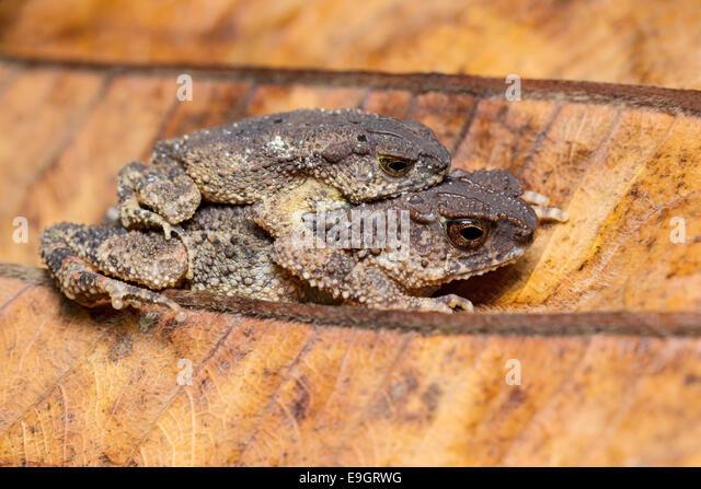 Dwarf Stream Toad (Ingerophrynus parvus) in amplexus - Stock Image