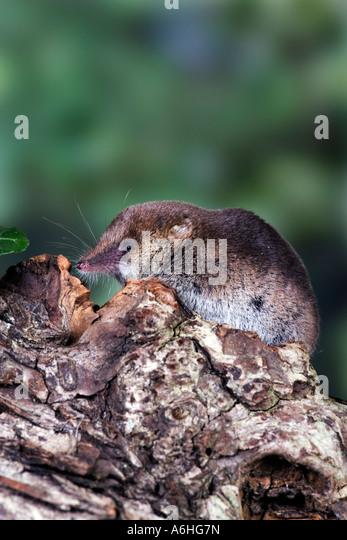 Image Of Shrew Stock Photos & Image Of Shrew Stock Images ...
