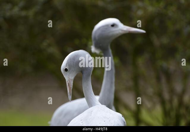 Paradise cranes, anthropoid paradisea, half portrait, stand, - Stock-Bilder