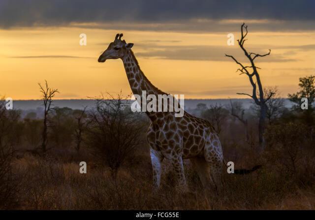 Giraffe Specie Giraffa camelopardalis family of Giraffidae - Stock Image