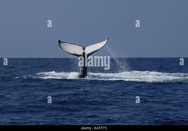Humpback whale Megaptera novaeangliae fluke Kailua Kona Big Island Hawaii Pacific - Stock Image
