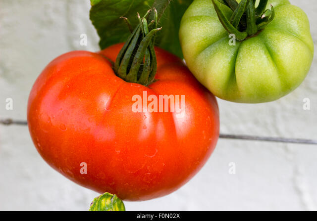 Ripe and unripe fruit of the heritage tomato, 'Brandywine' growing in the vinehouse at Normanby Hall, Scunthorpe, - Stock Image