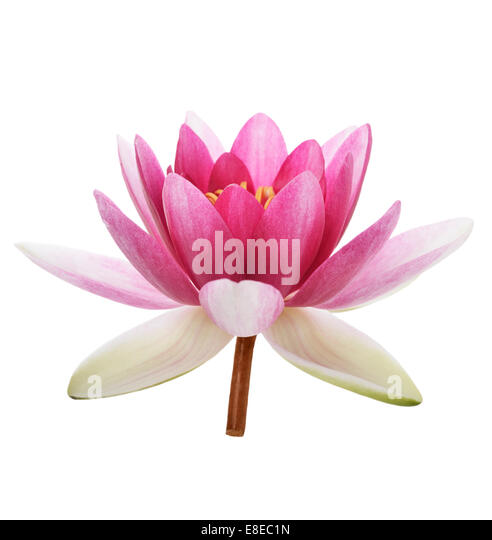 Pink Waterlily Flower Isolated On White Background - Stock Image