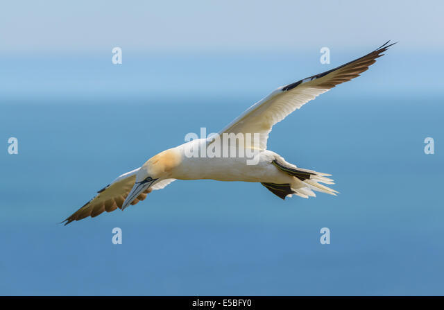 A northern gannet  (Morus bassanus; Sula bassana) airborne in flight flying soars above the North Sea; UK. - Stock Image