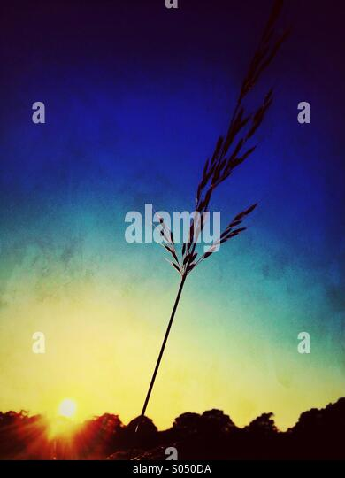 Single grass in silhouette at sunset - Stock Image