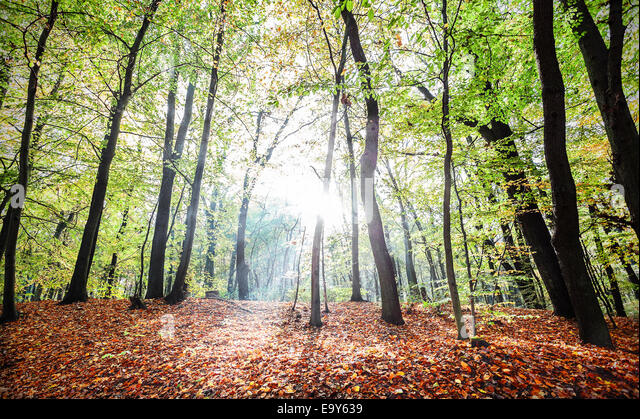Mysterious autumn forest landscape with sunbeams. - Stock Image