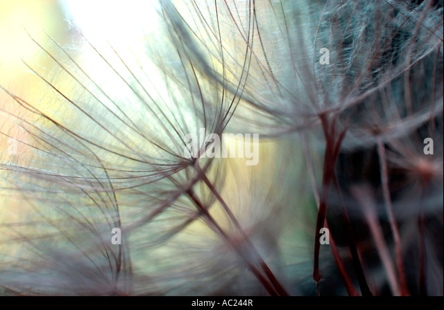 Goat s beard or Jack go to bed at noon abstract - Stock Image