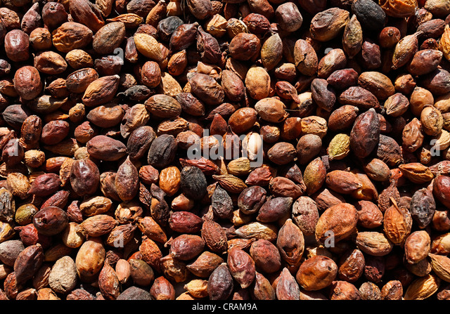Collected Argan (Argania spinosa) nuts, with the pericarp, from the region of Essaouira, Morocco, Africa - Stock Image