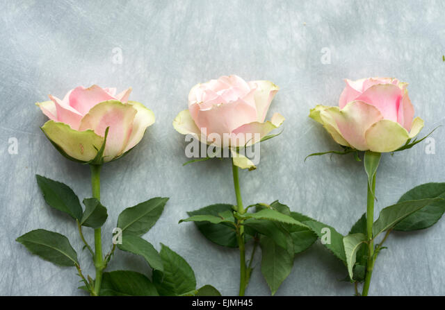 Pink and green cut roses in still life arrangement - Stock Image