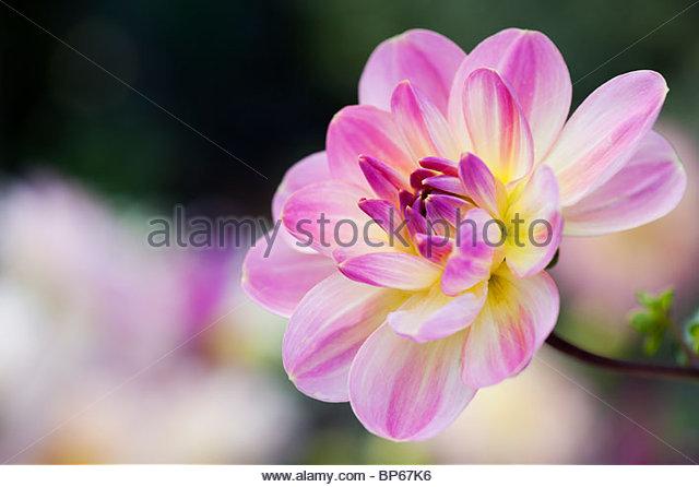 Dahlia 'Oriental Dream' flower. Waterlily Dahlia. - Stock Image