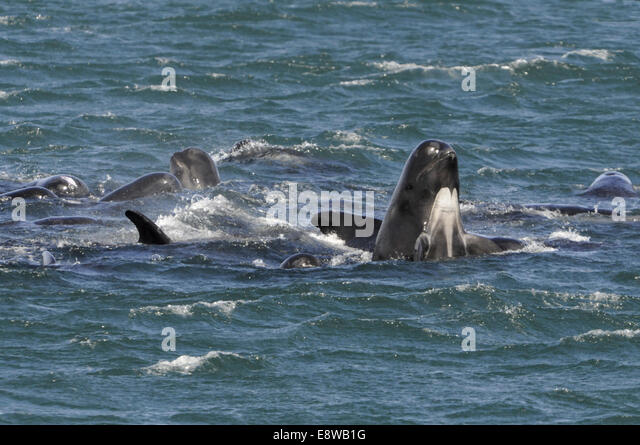 Long-finned Pilot Whale - Globiocephala melaena - Stock Image
