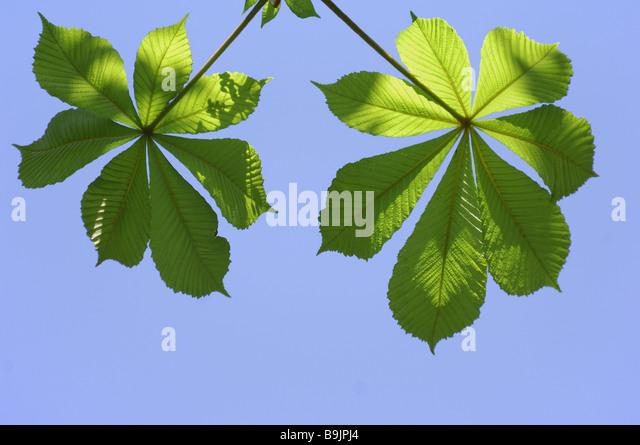 Chestnut-leaves heaven blue - Stock Image