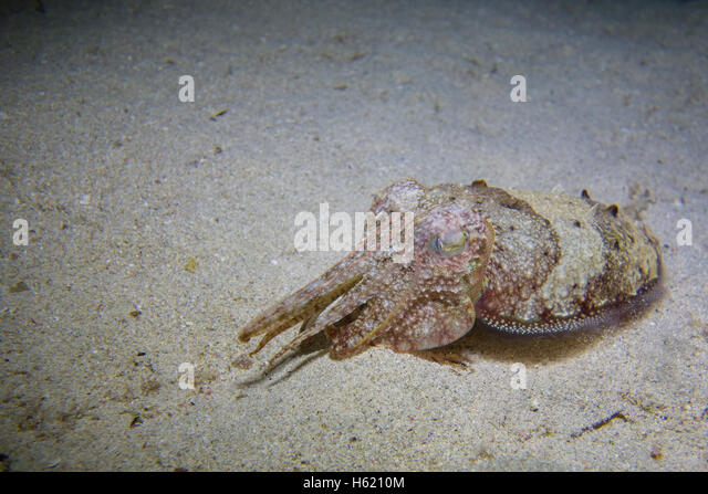 Common cuttlefish, Sepia officinalis, in the Mediterranean Sea in Malta - Stock Image