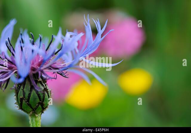 Mountain cornflower (Centaurea montana) flower, Liechtenstein, June 2009. BOOK &  WWE OUTDOOR EXHIBITION. NOT - Stock Image