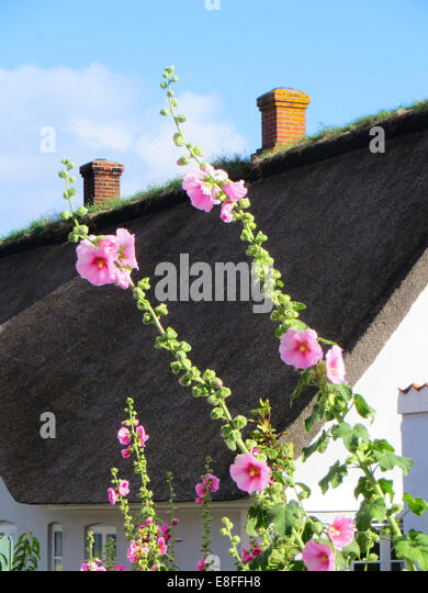 Hollyhock flowers in front of a traditional thatched summerhouse, Denmark - Stock Image