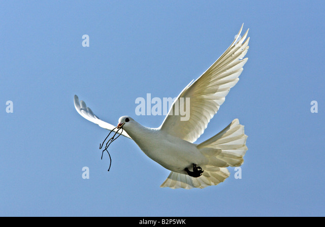 White Dove (Columba sp.) flying with nesting material in its beak - Stock Image