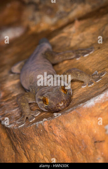 Western Giant Cave Gecko - The Kimberley, Western Australia - Stock Image