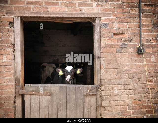 Cows standing at gate of barn - Stock Image