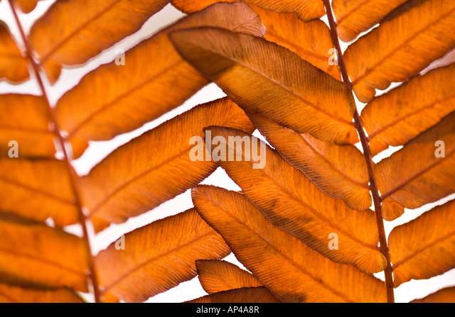 Abstract close up of autumn leaf foliage - Stock Image