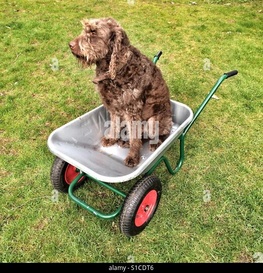 Brown Labradoodle sitting and a wheelbarrow, Hampshire, England, United Kingdom. - Stock-Bilder