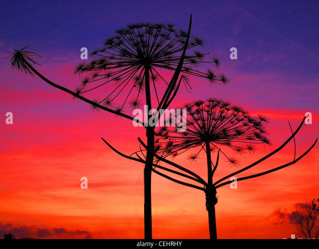 Giant Cow Parsley flowers in front of sunset - Stock Image