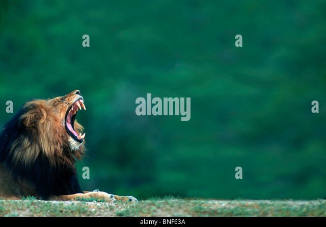 View of a Lion (Panthera leo) laying on the ground, Kruger National Park, Mpumalanga Province, South Africa - Stock Image