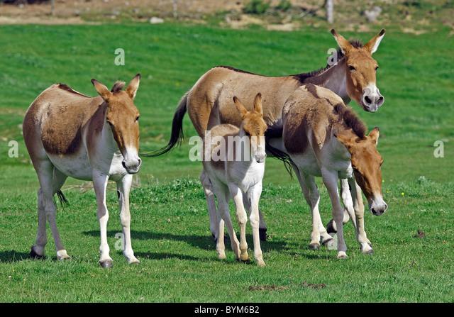 Kiang, Tibetan Wild Ass (Equus hemionus kiang). Group with foals at the Highland Wildlife Park, Scotland. - Stock Image