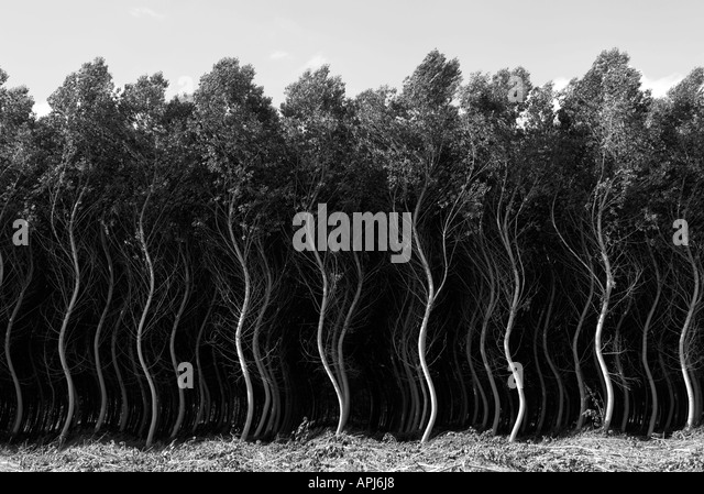 Black and white image altered digitally of a field of fast growing poplar trees France Aquitaine region - Stock Image
