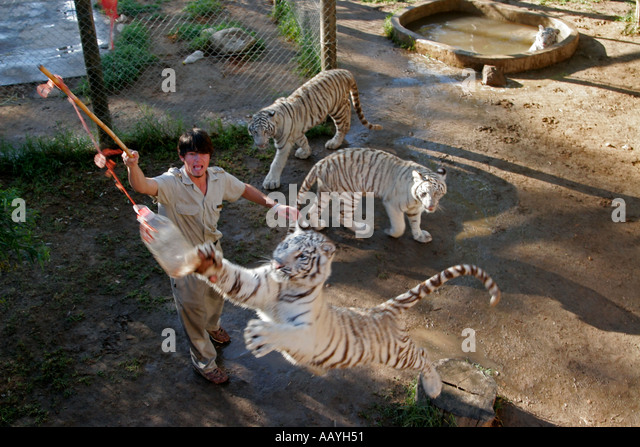 south africa outdshorn game park white tiger - Stock Image