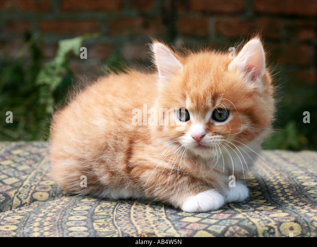 A tiny ginger and white kitten sitting on a chair. - Stock Image