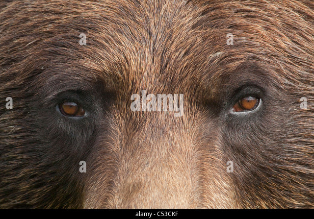 Extreme close up of a female Brown bear's face at the Alaska Wildlife Conservation Center, Southcentral Alaska, - Stock Image