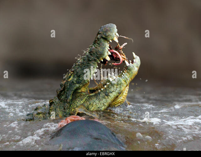 Nile crocodile (Crocodylus niloticus), eating a gnu in the Mara River, lateral portrait, Kenya, Masai Mara National - Stock Image