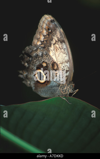 Honduras Butterfly owl owls eye - Stock Image