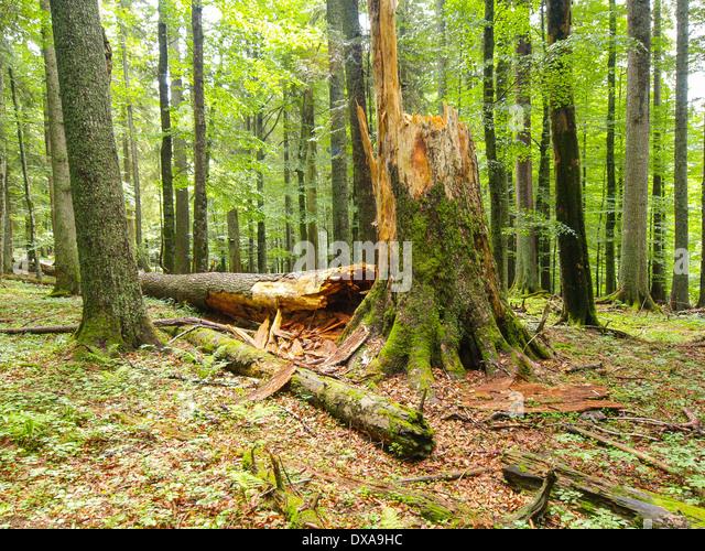 dead fir, abies alba - Stock Image