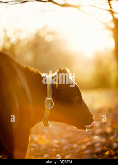 A cow against the light, Sweden. - Stock-Bilder