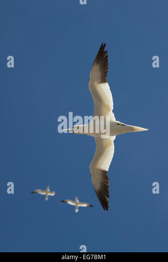 Northern gannet flying above Bass Rock, Scotland - Stock Image