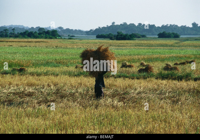 Farmer harvesting rice, China - Stock Image