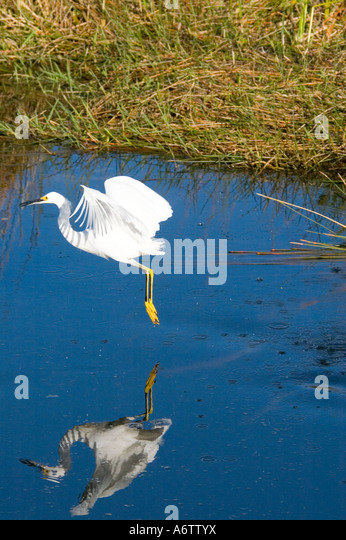 snowy egret flying over blue water everglades national park action motion fl nature birding wildlife  florida open - Stock Image