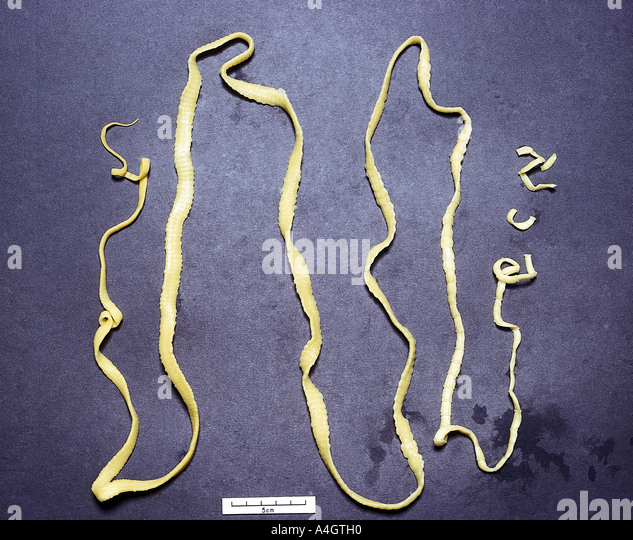 A photograph of the Taenia tapeworm - Stock Image