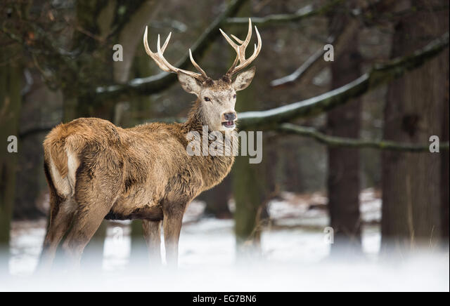 Red deer stag in the snow. Richmond Park - Stock Image