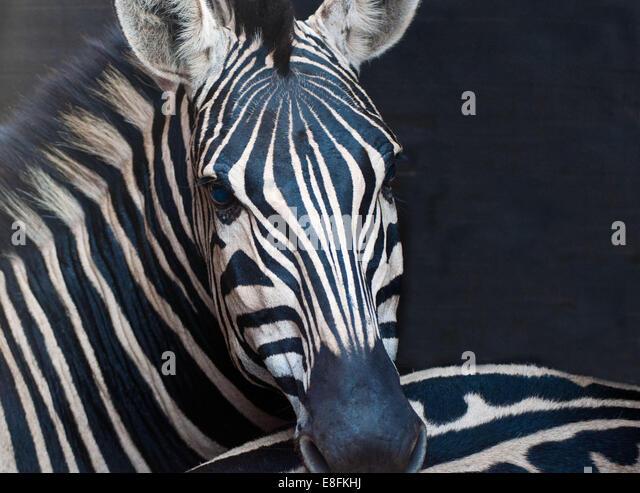 African Zebra - Stock Image