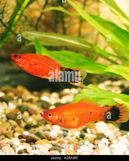 Southern Platyfish / Platy - Stock Image
