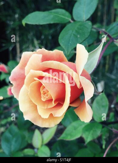 Apricot colored rose - Stock Image