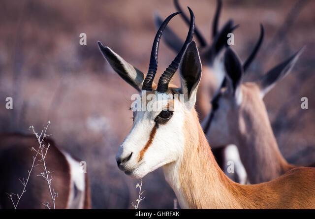 Springbok in the Etosha National Park, Namibia - Stock Image