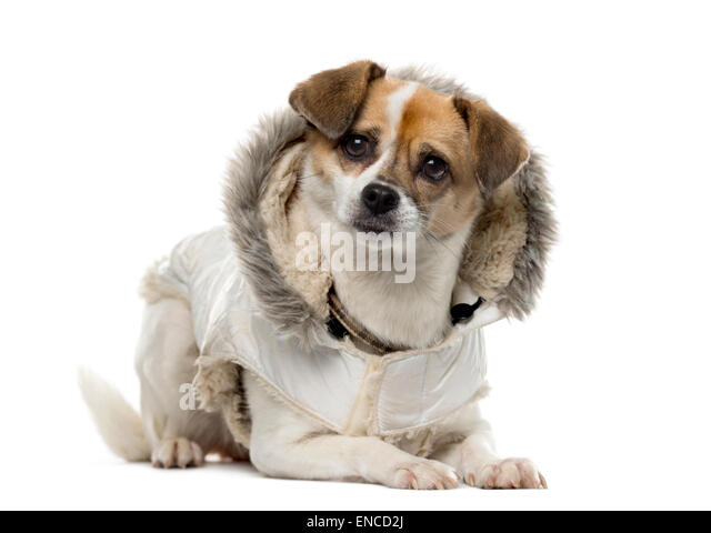 Crosbreed dressed (3 years old) in front of a white background - Stock Image