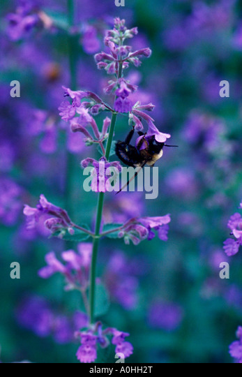 Bumble Bee on a Lavender Flower - Stock Image