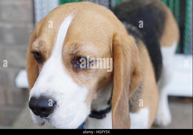 Beautiful beagle - Stock Image