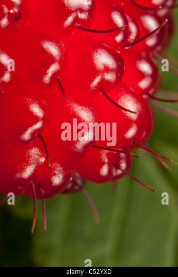 Macro view of raspberry plant, Kodiak, Southwest Alaska, Summer - Stock Image
